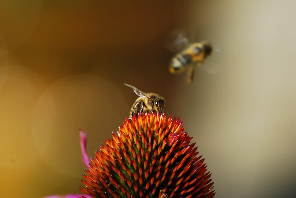 Bienen bei Echinacea