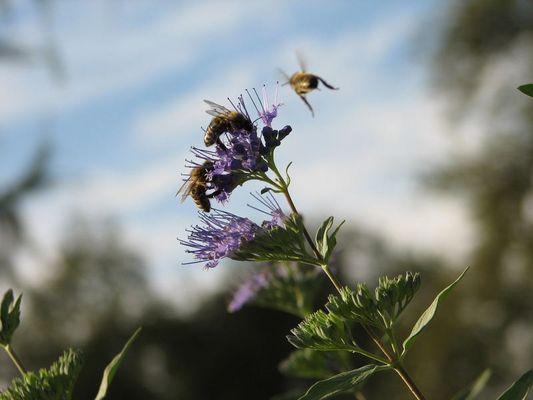 Bienen beim Nektarsammeln