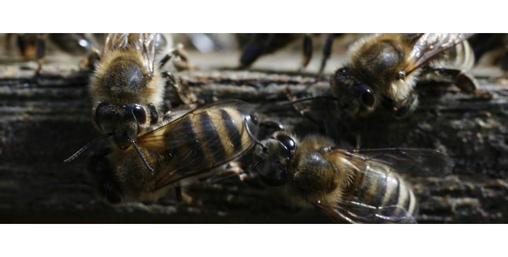 Bienen III