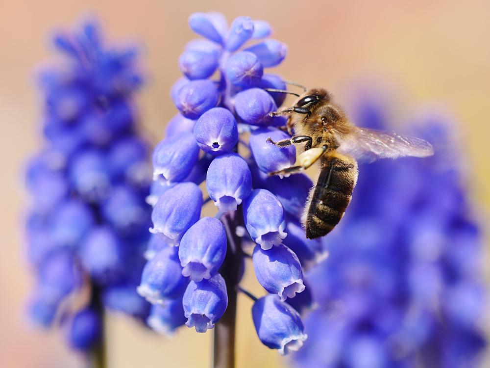 bienen lieben blaue bl ten foto bild pflanzen pilze flechten bl ten kleinpflanzen. Black Bedroom Furniture Sets. Home Design Ideas