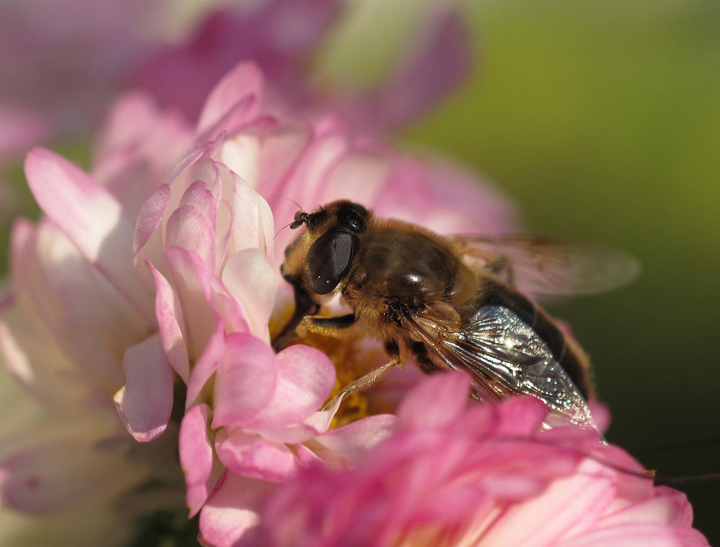 Bienen Makro Freihand