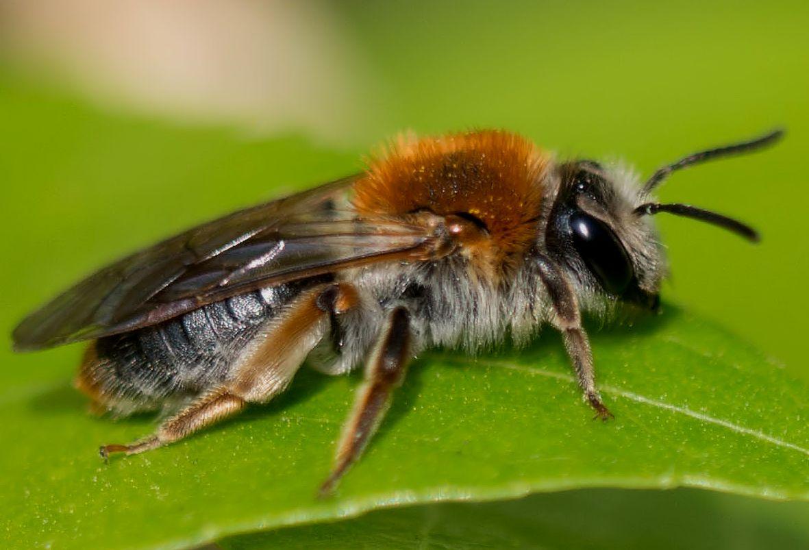 Bienen - Porträt
