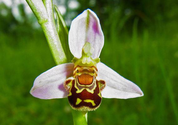 Bienen-Ragwurz