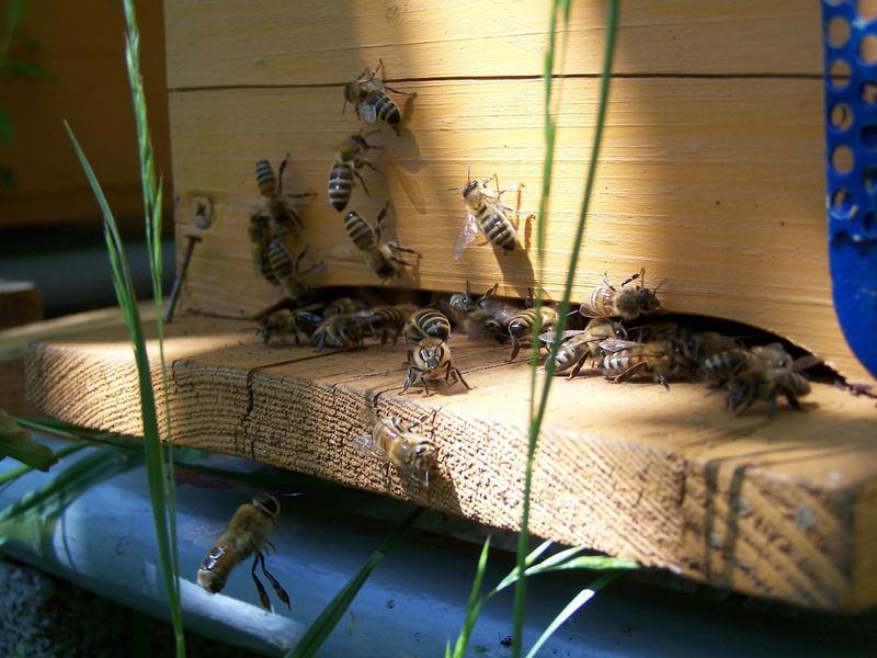 Bienen vor dem Bienenstock bei der Arbeit