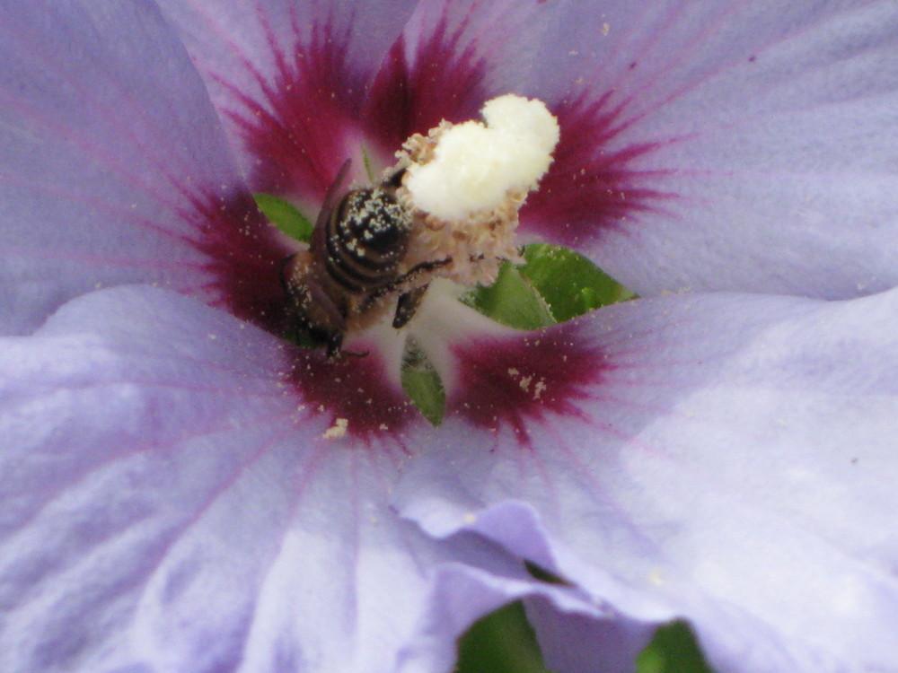Bienen, Wespen und andere aussterbende Flügelwesen