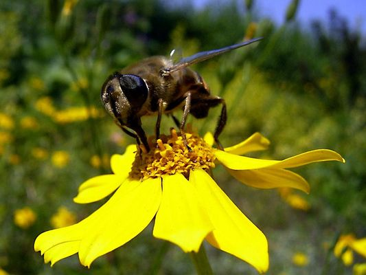 Bienenähnliche Schwebfliege