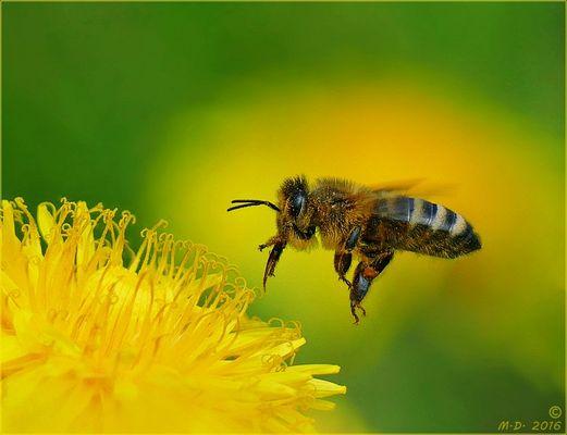Bienenanflug auf Löwenzahn...