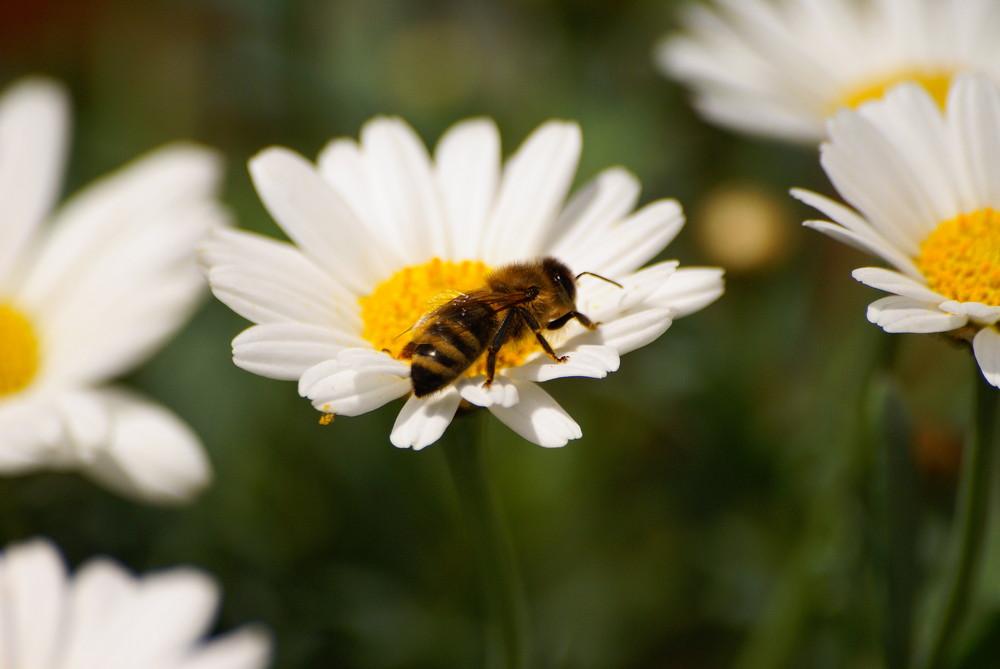 Bienenbesuch ...