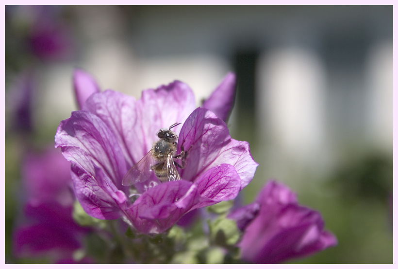 Bienenbesuch an der Malve