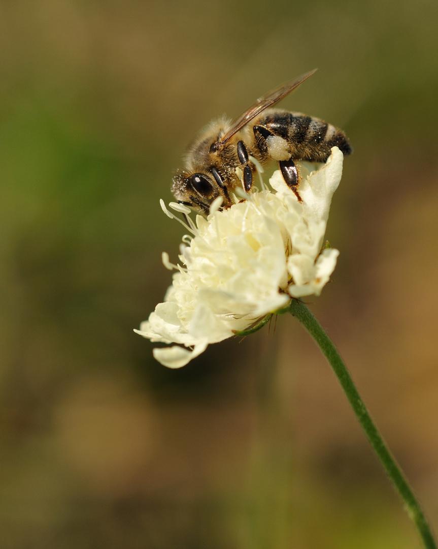 """Bienenbesuch auf der """"Gelben Witwenblume"""""""
