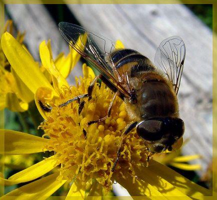 Bienenfliege oder Fliegenbiene?