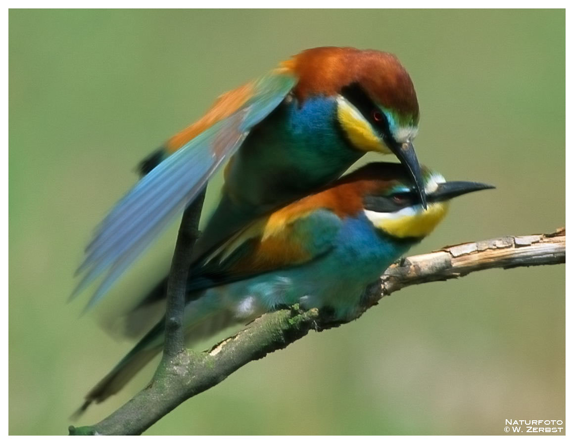 -- Bienenfresser bei der Kopula -- ( Merops apiaster )
