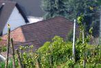 Bienenfresser im Kaiserstuhl