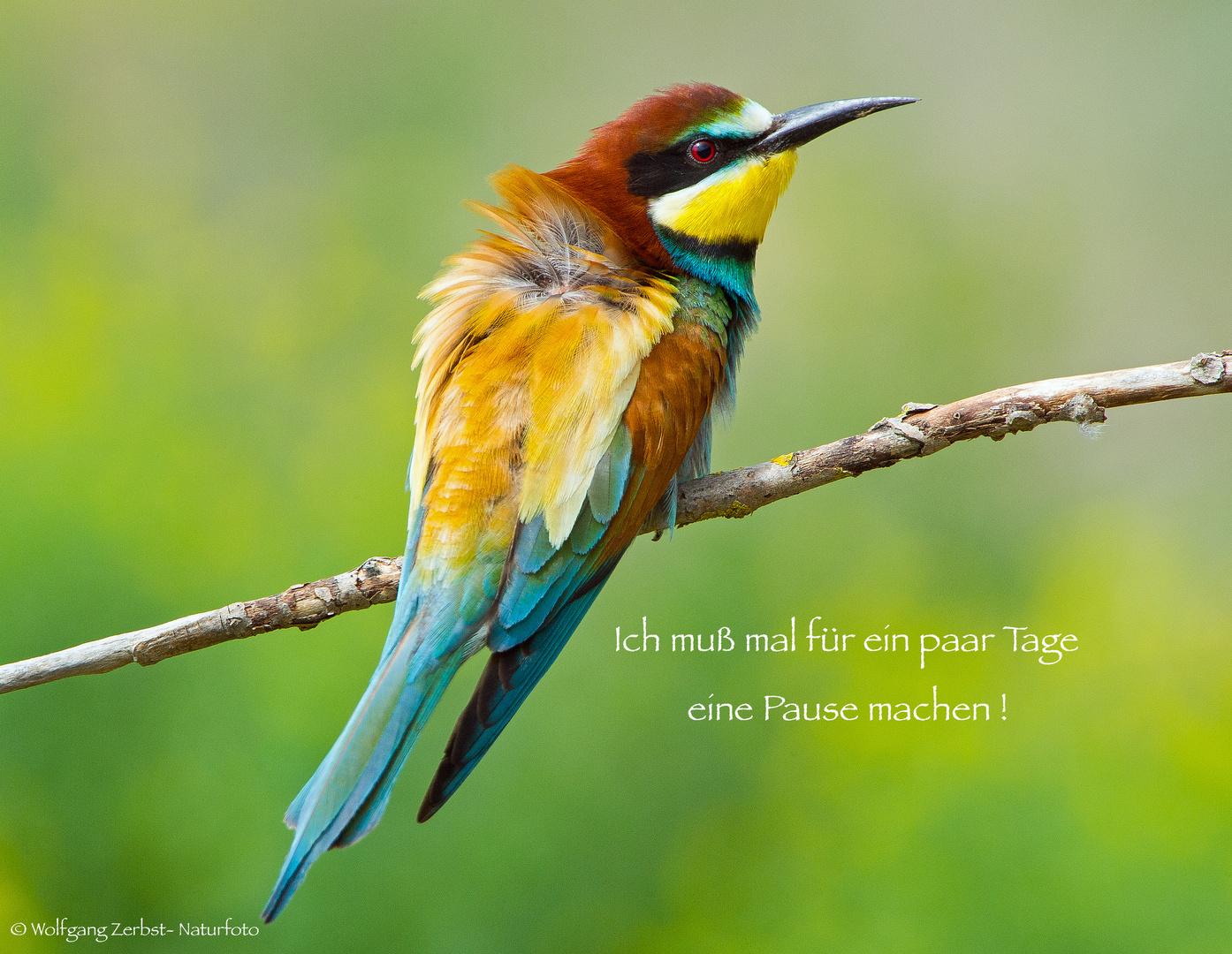 --- Bienenfresser ---  ( Merops apiaster )
