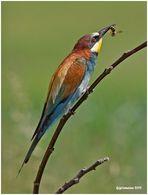 Bienenfresser (Merops apiaster)......
