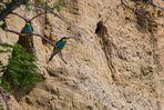 Bienenfresser (Merops apiaster) vor der Sandwand
