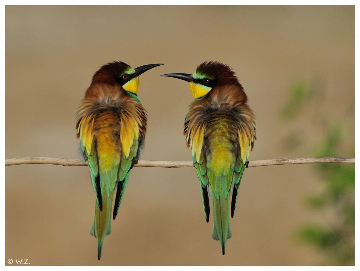 ---- Bienenfresser Nr. 2A ----- ( Merops apiaster )