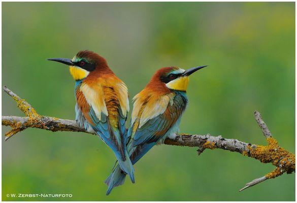 --- Bienenfresser-Paaar ---  ( Merops apiaster )