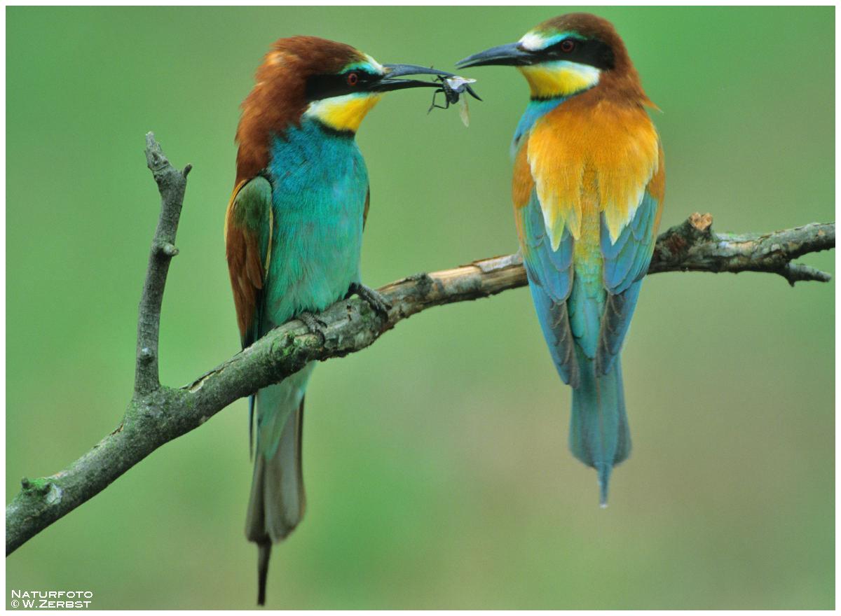 - Bienenfresser-Paar bei der Übergabe des Brauntgeschenks -