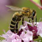 Bienenfrühstück