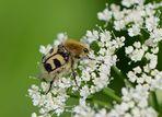 Bienenkäfer ... nein, ein Pinselkäfer