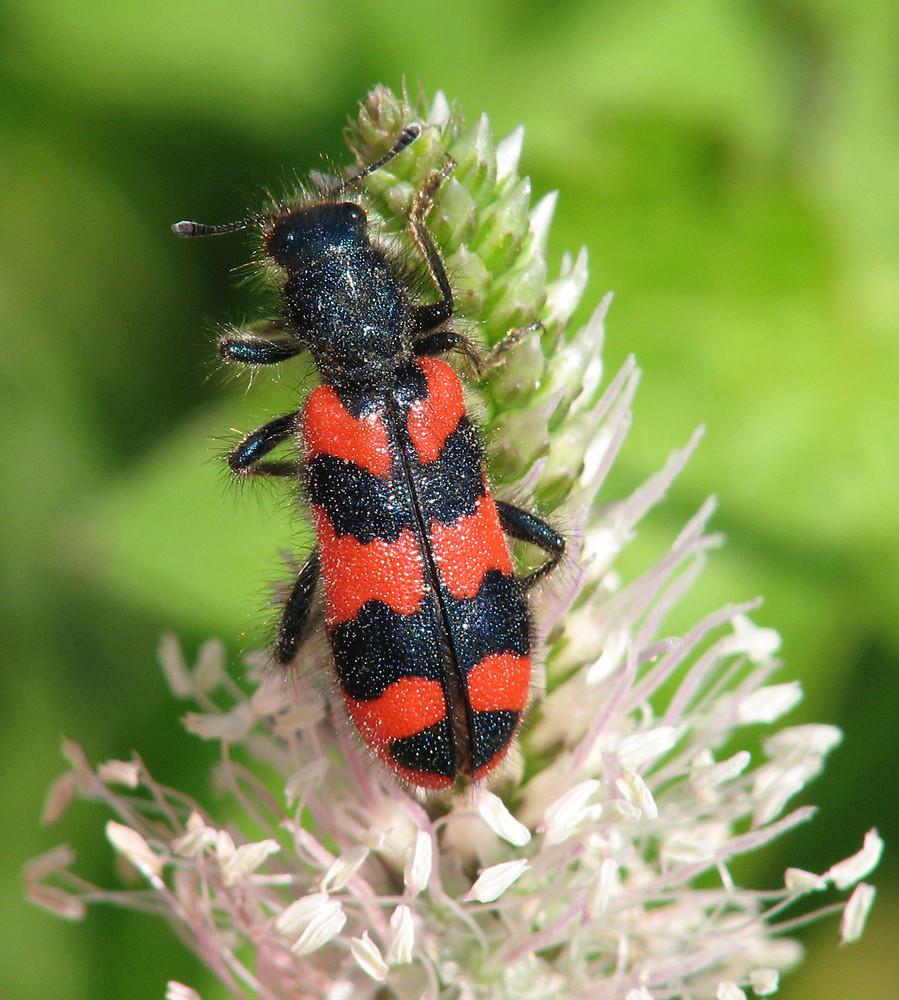 Bienenkäfer Trichodes alvearius