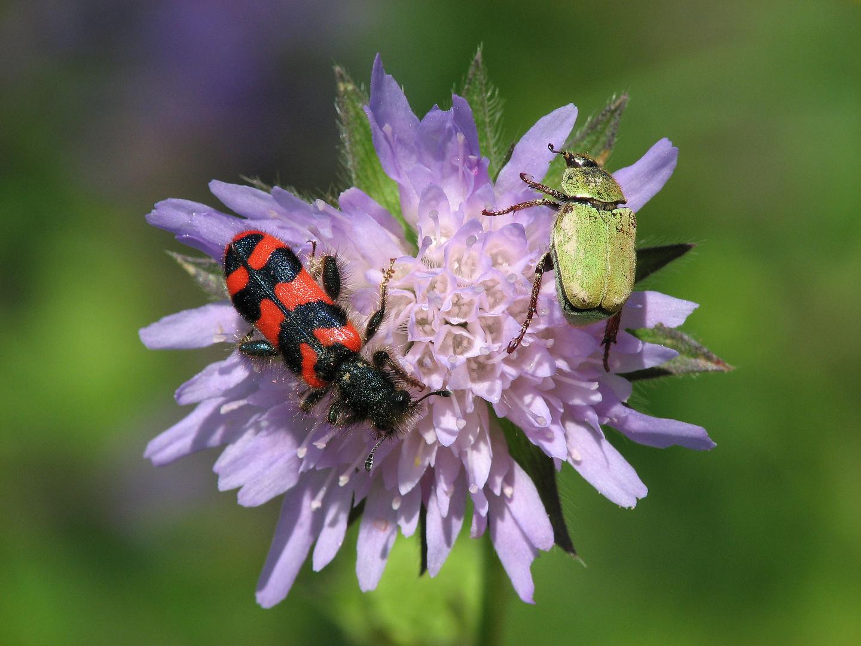 Bienenkäfer und Mehliger Käfer