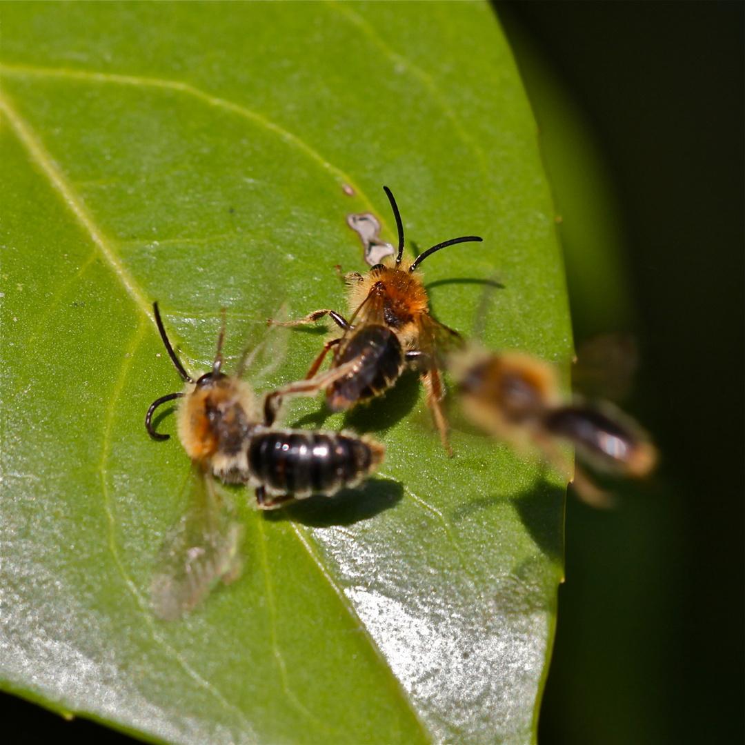 Bienenkämpfchen um den Platz an der Sonne