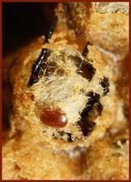 Bienenkiller Varroa