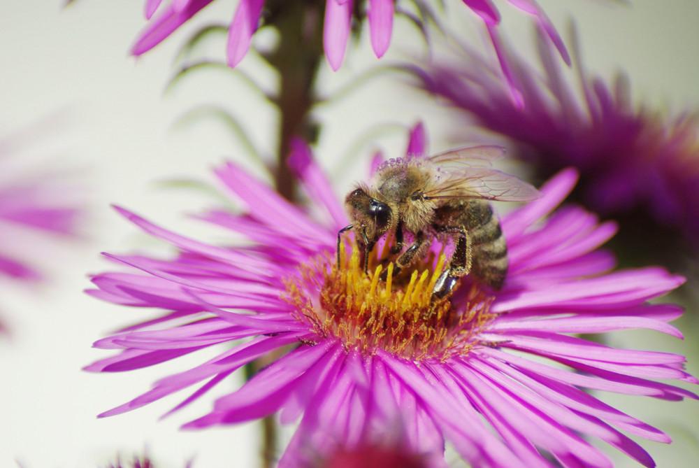 Bienenmakro