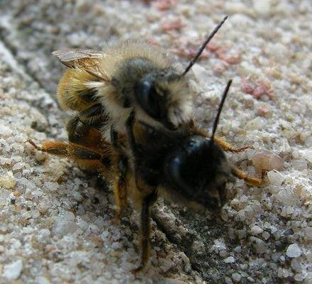 Bienenpaarung