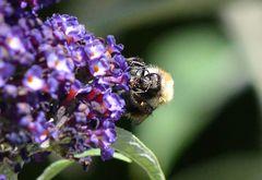 Bienenschmaus