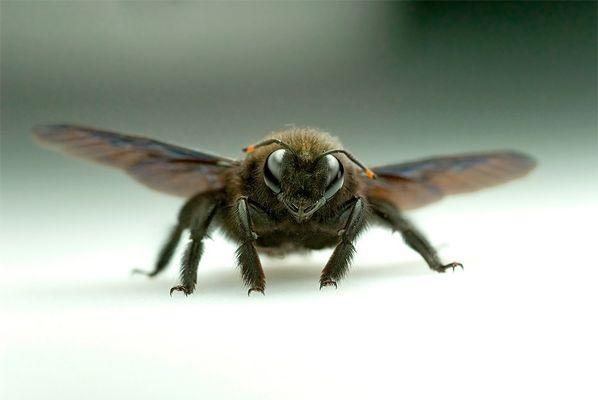 Bienenschnauze