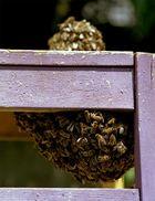 Bienenschwarm auf farbigem Hocker