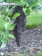 Bienenschwarm eine schöne traube