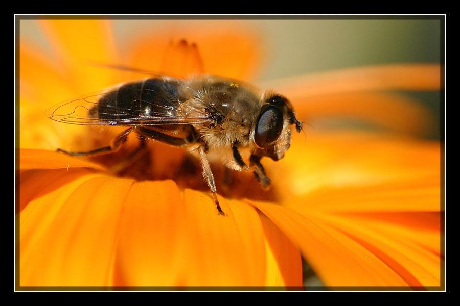 Bienenschwebfliege