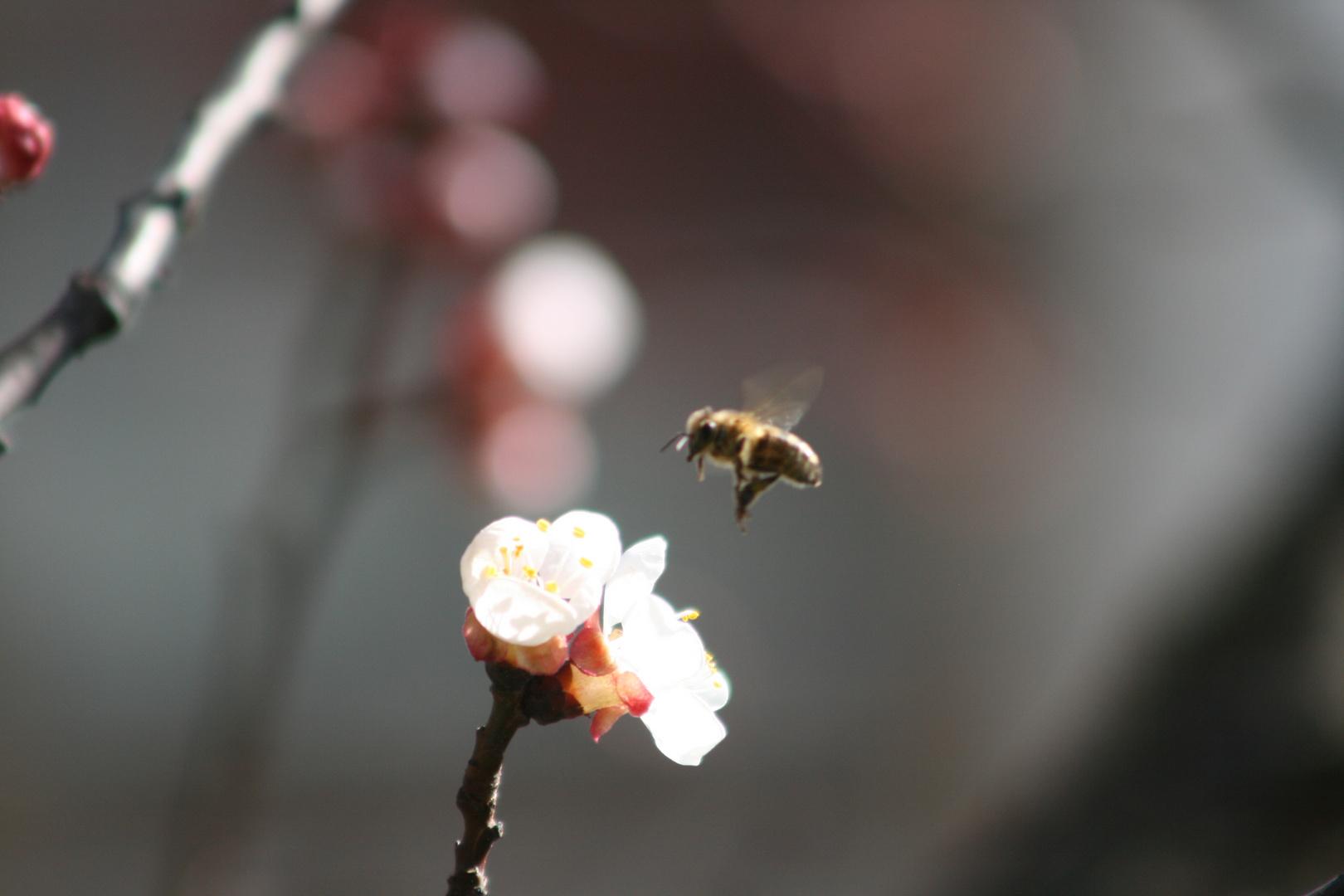 Bienentanz um Marillenblüten in Partschins