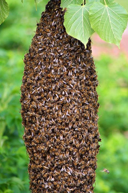 bienenvolk foto bild tiere wildlife insekten bilder auf fotocommunity. Black Bedroom Furniture Sets. Home Design Ideas