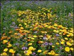 Bienenweide und Ringelblumen