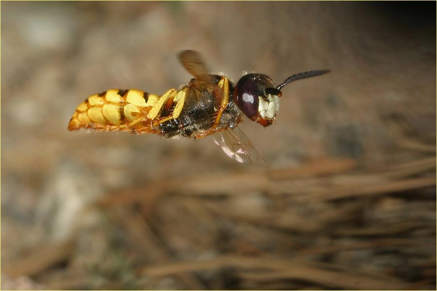 Bienenwolf in Schräglage