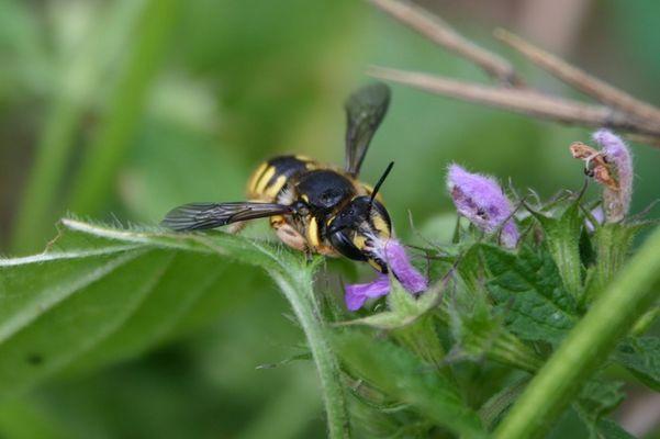 Bienenwolffütterung?