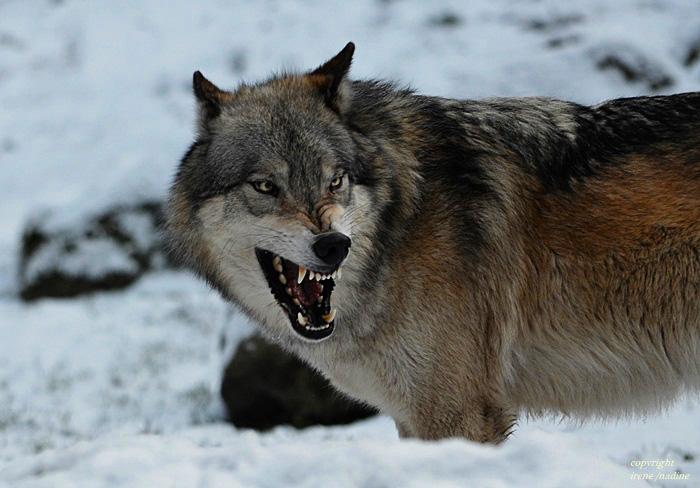 Big Bad Wolf OLE !!!