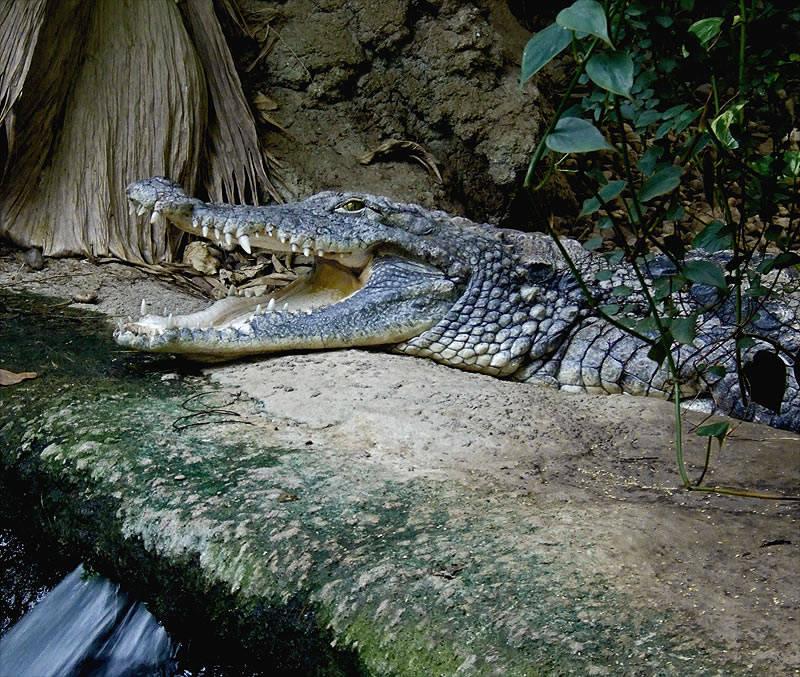 Big croc's watching you