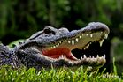 Big Cypress Alligator