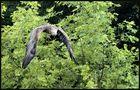 big eagle...