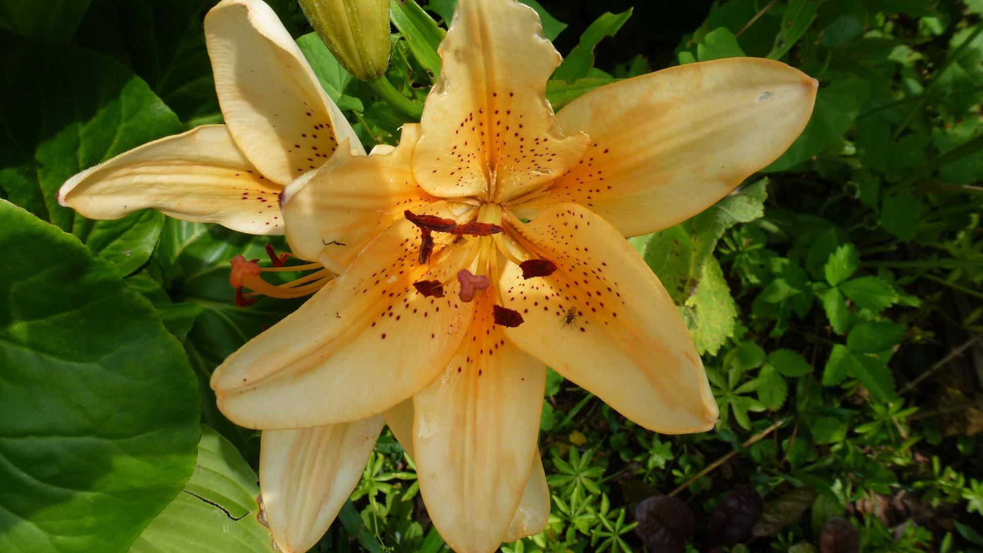 big lilien