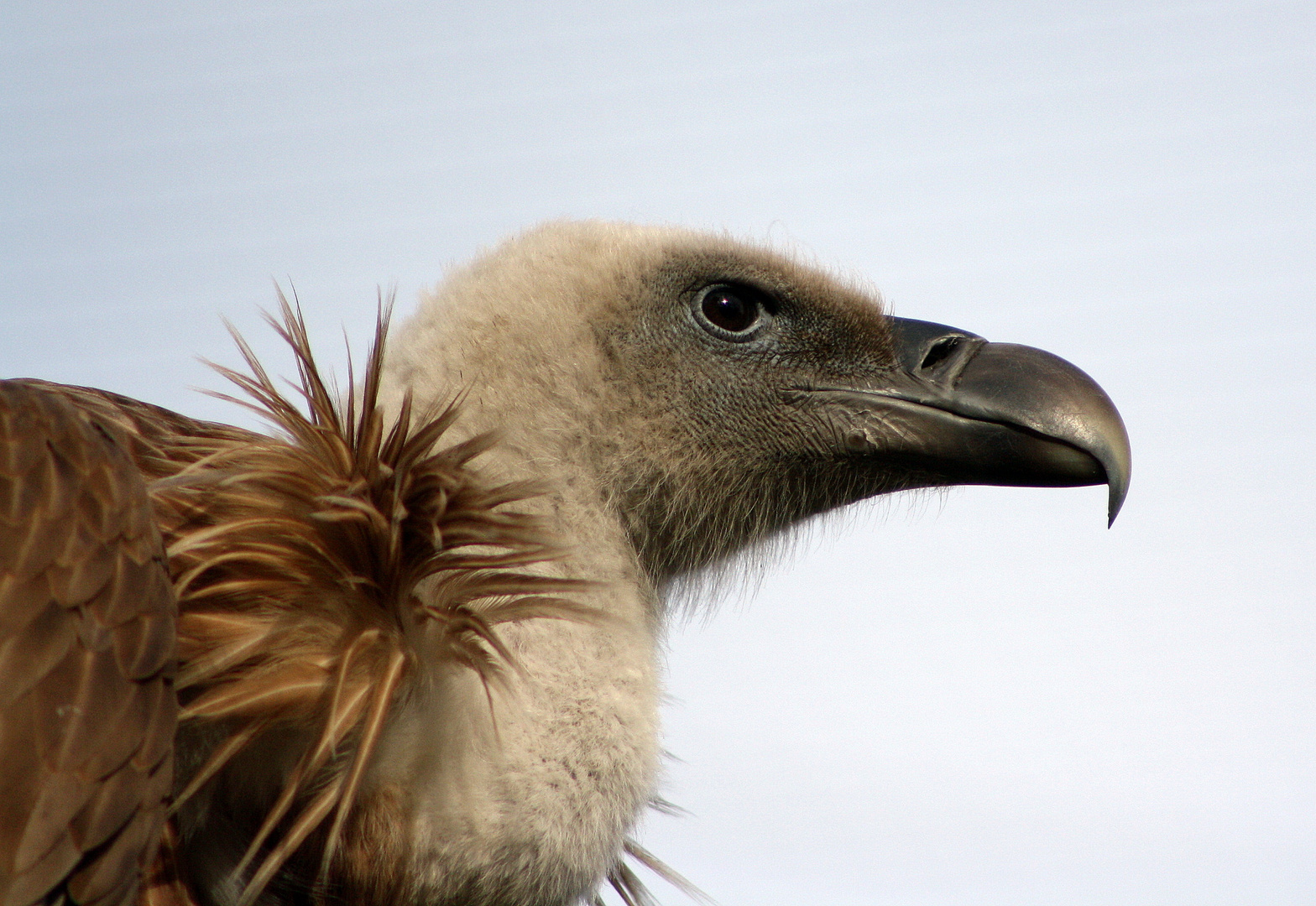 Big vulture is watching you