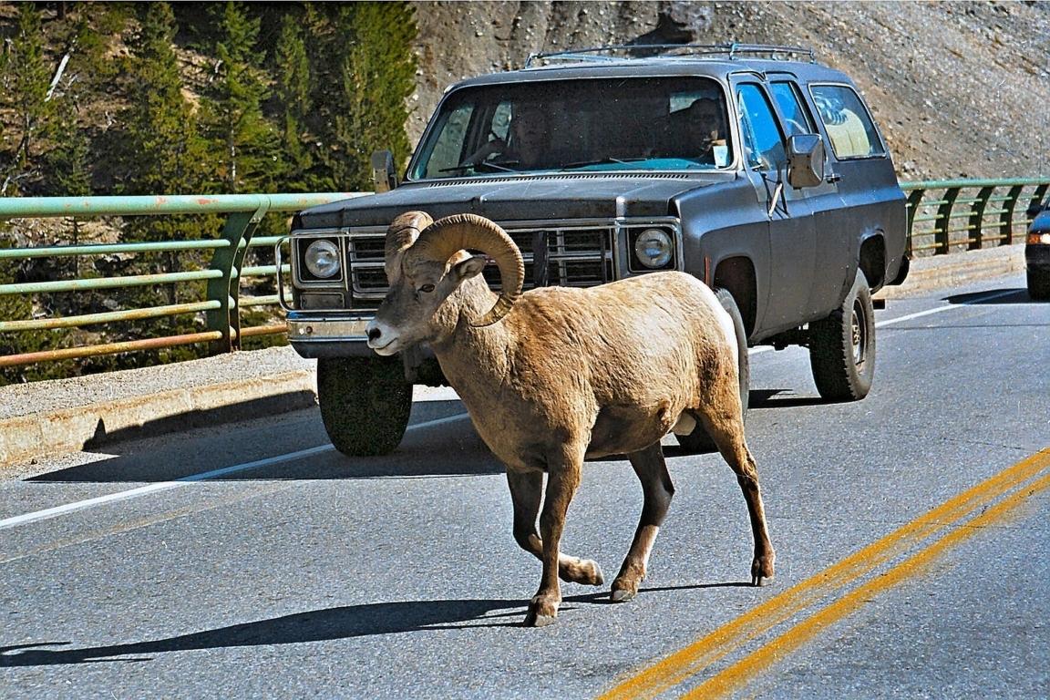 Bighorn-Schaf