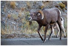 Bighorn sheep, oder...