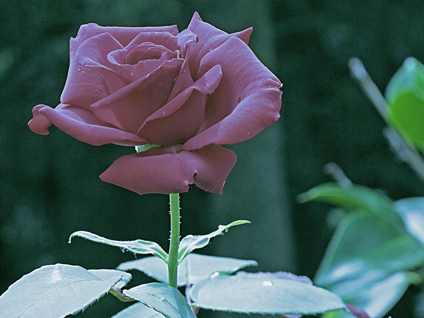 Bild 1: Bearbeitete Rosenblüte aus Uschis Garten.